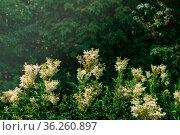 Meadowsweet inflorescences against the background of blurred shady foliage and berries. Стоковое фото, фотограф Евгений Харитонов / Фотобанк Лори