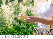 Woman herbalist gathers meadowsweet inflorescences in a basket. Стоковое фото, фотограф Евгений Харитонов / Фотобанк Лори