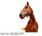 Happy confident funny head of a horse, isolated. Стоковое фото, фотограф Сергей Новиков / Фотобанк Лори