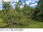 Поваленая старая береза на опушке леса солнечным июльским днем. Последствия урагана. Стоковое фото, фотограф Виктор Карасев / Фотобанк Лори