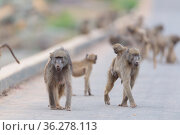 Baboon family in the wilderness of Africa. Стоковое фото, фотограф Zoonar.com/Ozkan Ozmen / easy Fotostock / Фотобанк Лори