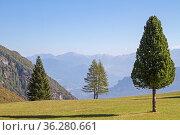 Kiefer, Lärche und Fichte nebeneinander auf einer Bergwiese im Trentino... Стоковое фото, фотограф Zoonar.com/Eder Christa / easy Fotostock / Фотобанк Лори