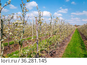 Blooming apple trees in the Betuwe near Rhenen in Gelderland, the... Стоковое фото, фотограф Zoonar.com/Hilda Weges / easy Fotostock / Фотобанк Лори