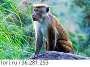 Monkey on the background of rainforested mountains. Endemic fauna... Стоковое фото, фотограф Zoonar.com/Maximilian Buzun / easy Fotostock / Фотобанк Лори