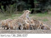 Wildschweine (Sus scrofa), Frischlinge, Gruppe, Schleswig-Holstein... Стоковое фото, фотограф Zoonar.com/Stefan Ernst / age Fotostock / Фотобанк Лори