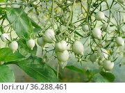 Зеленые помидоры зреют в теплице. Стоковое фото, фотограф Елена Коромыслова / Фотобанк Лори