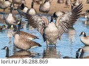 Canada geese (Branta canadensis) Cibola National Wildlife Refuge, Arizona, USA. July. Стоковое фото, фотограф Jack Dykinga / Nature Picture Library / Фотобанк Лори