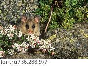 Mountain Pygmy-possum (Burramys parvus) feeding on nectar and pollen of an alpine heath shrub (Nematolepis ovatifolia), Kosciuszko National Park, New South... Стоковое фото, фотограф Jiri Lochman / Nature Picture Library / Фотобанк Лори
