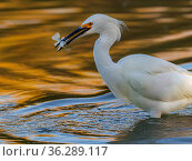 Snowy egret (Egretta thula) fishing in pond, with autumn reflections of yellow ash tree on the water. Gilbert Riparian Preserve, Gilbert, Arizona, USA, December. Стоковое фото, фотограф Jack Dykinga / Nature Picture Library / Фотобанк Лори