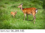 Female spotted deer with a cub. Стоковое фото, фотограф Юлия Кузнецова / Фотобанк Лори