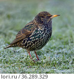 Common starling (Sturnus vulgaris) foraging in grass Vendee, France, January. Стоковое фото, фотограф Loic Poidevin / Nature Picture Library / Фотобанк Лори