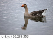 Greylag x Swan Goose hybrid (Anser anser x cygnoides), Norwich, England, UK February. Стоковое фото, фотограф Robin Chittenden / Nature Picture Library / Фотобанк Лори