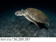 Green sea turtle (Chelonia mydas). Tenerife, Canary Islands. Стоковое фото, фотограф Sergio Hanquet / Nature Picture Library / Фотобанк Лори