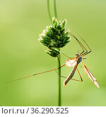 Большой комар долгоножка на зелённом фоне. Стоковое фото, фотограф Игорь Низов / Фотобанк Лори