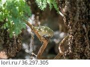 Darwin's small tree finch (Camarhynchus parvulus), feeding on small seeds, Santa Cruz Island, Galapagos Islands. Стоковое фото, фотограф Tui De Roy / Nature Picture Library / Фотобанк Лори