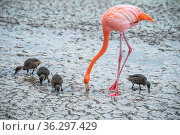 American flamingo (Phoenicopterus ruber) feeding in saline lagoon, with White-cheeked pintails (Anas bahamensis), Floreanan Island, Galapagos Islands. Стоковое фото, фотограф Tui De Roy / Nature Picture Library / Фотобанк Лори
