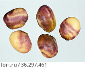 Purple seed stain (Cercospora kikuchii) characteristic staining symptom caused by the disease to soybean seeds. Стоковое фото, фотограф Nigel Cattlin / Nature Picture Library / Фотобанк Лори