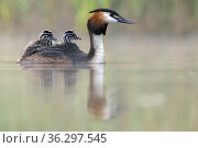 Great crested grebe (Podiceps cristatus) parent bird with chicks on its back, portrait in the first morning light Valkenhorst Nature Reserve, Valkenswaard, The Netherlands. May. Стоковое фото, фотограф David Pattyn / Nature Picture Library / Фотобанк Лори