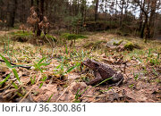 Small toad in big forest. Common toad, Bufo bufo, in its natural environment... Стоковое фото, фотограф Zoonar.com/Lillian Tveit / easy Fotostock / Фотобанк Лори