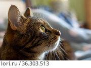 Голова полосатой кошки со спокойным внимательным взглядом в уютной спальне в солнечное утро. Стоковое фото, фотограф Sergei Gorin / Фотобанк Лори