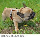 Delicious chamomile. French bulldog puppy eating flowers. Стоковое фото, фотограф Валерия Попова / Фотобанк Лори
