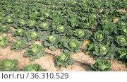 Rows of growing organic savoy cabbage on farm, sustainable farming. Стоковое видео, видеограф Яков Филимонов / Фотобанк Лори