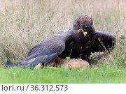 Steppenadler (Aquila nipalensis) mit Feldhase. Стоковое фото, фотограф Zoonar.com/Winfried Schäfer / age Fotostock / Фотобанк Лори