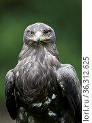 Steppenadler (Aquila nipalensis) Стоковое фото, фотограф Zoonar.com/Winfried Schäfer / age Fotostock / Фотобанк Лори