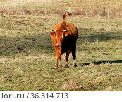 Braune Kuh im galopp auf Wiese. Стоковое фото, фотограф Zoonar.com/Nils Melzer / easy Fotostock / Фотобанк Лори