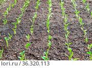 Seedlings of pepper. Pepper in greenhouse cultivation. Seedlings in... Стоковое фото, фотограф Zoonar.com/Leonid Eremeychuk / easy Fotostock / Фотобанк Лори