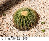 Schwiegermuttersitz alias Echinocactus grusonii von oben. Стоковое фото, фотограф Zoonar.com/Nils Melzer / easy Fotostock / Фотобанк Лори