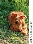 Gorgeous beautiful purebred young serious obedient bored sad puppy hunting dog Irish Terrier breed lies in nature outdoors in summer on the grass. Стоковое фото, фотограф Светлана Евграфова / Фотобанк Лори