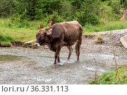 Braune Kuh geht durch einen Bach - Rindvieh, artgerechte Tierhaltung. Стоковое фото, фотограф Zoonar.com/Alfred Hofer / easy Fotostock / Фотобанк Лори