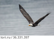 A bald eagle soaring in the sky with wide open wings in north Idaho. Стоковое фото, фотограф Zoonar.com/Gregory Johnston / easy Fotostock / Фотобанк Лори