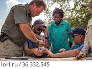 Scientists gently restrain a young White-headed vulture (Trigonoceps occipitalis) which will be fitted with a solar-powered GPS transmitter for monitoring... Стоковое фото, фотограф Jen Guyton / Nature Picture Library / Фотобанк Лори