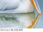 Dalmatian pelican (Pelicanus crispus) close up of beak tip reflected in water of Lake Kerkini, Greece. Стоковое фото, фотограф Edwin Giesbers / Nature Picture Library / Фотобанк Лори