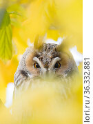 Long-eared owl (Asio otus) portrait, roosting in tree in autumn, The Netherlands. Стоковое фото, фотограф Edwin Giesbers / Nature Picture Library / Фотобанк Лори
