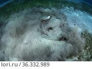 Round Stingray (Taeniura grabata) burying itself in sand seabed near a seagrass meadow (Cymodosea nodosa), Tenerife. Стоковое фото, фотограф Sergio Hanquet / Nature Picture Library / Фотобанк Лори