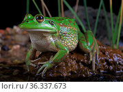 Growling grass frog (Litoria raniformis) female from the Merri Creek, Donnybrook, Melbourne, Victoria, Australia. Controlled conditions. Стоковое фото, фотограф Robert Valentic / Nature Picture Library / Фотобанк Лори