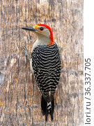 Red-bellied woodpecker (Melanerpes carolinus) adult male, Naples, Southwest Florida, USA. April. Стоковое фото, фотограф Steven David Miller / Nature Picture Library / Фотобанк Лори