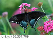Eastern black swallowtail butterfly (Papilio polyxenes) female, Naples Botanical Gardens, Southwest Florida, USA. Стоковое фото, фотограф Steven David Miller / Nature Picture Library / Фотобанк Лори