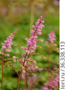 Astilbe chinensis Delft Lace features very long, apricot pink flower plumes borne on upright and sturdy bright red stems. Стоковое фото, фотограф Валерия Попова / Фотобанк Лори
