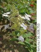 Hydrangea paniculata Angels Blush, beautiful upright shrub. Стоковое фото, фотограф Валерия Попова / Фотобанк Лори