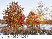 Young oaks in a snowy wasteland at sunset, department of Eure-et-... Стоковое фото, фотограф Christian Goupi / age Fotostock / Фотобанк Лори
