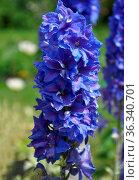 Rittersporn in Blumenbeet - Larkspur in flower bed. Стоковое фото, фотограф Zoonar.com/lantapix / easy Fotostock / Фотобанк Лори