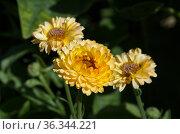 Календула, или ноготки (лат. Calendula officinalis) цветет в летнем саду. Стоковое фото, фотограф Елена Коромыслова / Фотобанк Лори