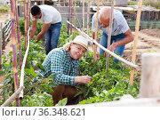 Woman horticulturist working with tomatoes bushes near wooden trellis. Стоковое фото, фотограф Яков Филимонов / Фотобанк Лори
