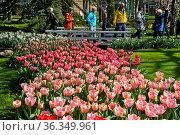 Tulpenbeet und Besucher in der Blumengartenschau Keukenhof, Lisse... Стоковое фото, фотограф Zoonar.com/Pant / age Fotostock / Фотобанк Лори