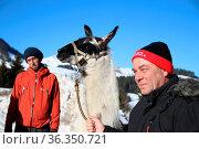 Lama Trecking Fieberbrunn - IBU Biathlon WM Hochfilzen 2017 - Verfolgung... Стоковое фото, фотограф Zoonar.com/Joachim Hahne / age Fotostock / Фотобанк Лори