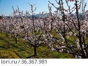 Blooming apricot trees garden. Стоковое фото, фотограф Яков Филимонов / Фотобанк Лори